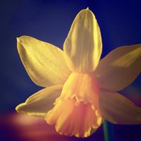 Tainted Daffodil by nectar666