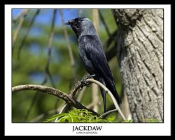 Jackdaw by THEDOC4
