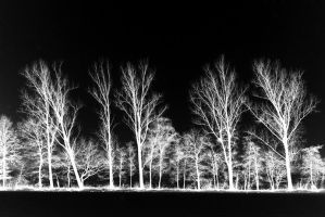 white trees by augenweide