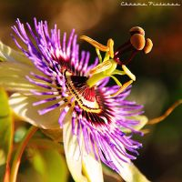 Passionflower by AljoschaThielen
