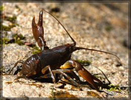 Crayfish 40D0028507 by Cristian-M