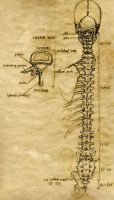 spinal cord study by will-o-the-wisp