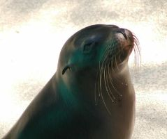 Sea Lion by MarchingWolf