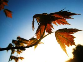Red Leaves of Sunset by tabbycat1212