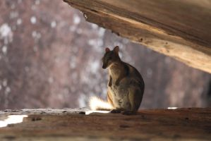 rock wallaby by tasphoto