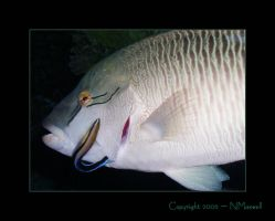 Large_Wrasse by reviresco