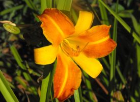 Sunburnt Lily by Photos-By-Michelle