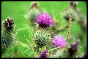 Wild Scottish Thistles by amyhooton