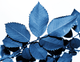 Blue Leaves by KameleonKlik