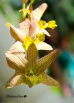 Yellow Orchids by gigi50