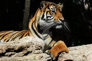 ueno zoo - lazy tiger II by wont-seem-to-heal
