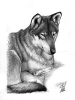 Antoschka - Portrait of a wolf by antoniavogel