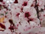 Blossom Collection II by musicfreak937