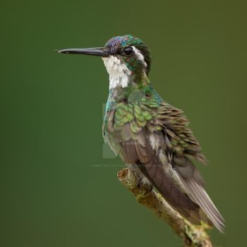 Feeling Jaded - White-throated Mountain-Gem by Jamie-MacArthur