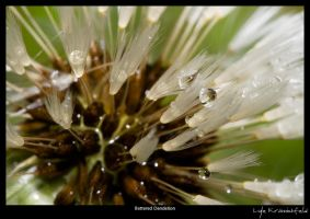 Battered Dandelion by Krannichfeld
