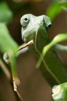 Flap-necked Chameleon by vetchyKocour