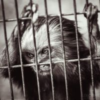 Portrait of monkey with cool hair by sican