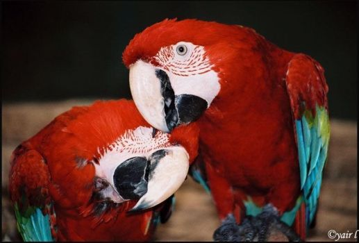 Macaw love by Yair-Leibovich