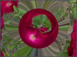 Roses a different view 2 by Tailgun2009