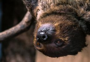 Sloth Close-up Portrait by OrangeRoom