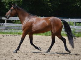 Bay morgan trot side view by equustock
