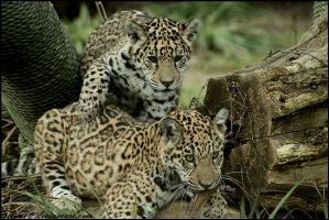 jaguar siblings by Twins72