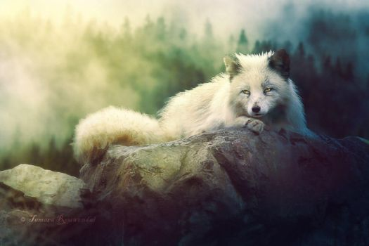 Arctic Fox by tamaraR