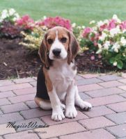 beagle by MagiicWoman