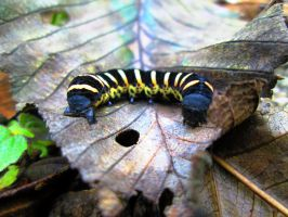 the most divine caterpillar by IsiEnLinea
