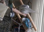 Budgies at Play 10 by Windthin