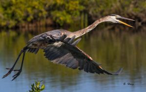 Great Blue Heron by Grouper
