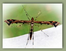 Plume Moth by iriscup