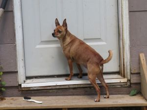Chihuahua Mix Stock 3018 by sUpErWoLf--StOcK