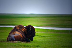 Bison Down by ElaineSelene