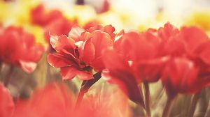 Red Flowers by BG-Love