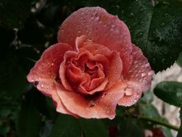 Rose after the rain by robinatl