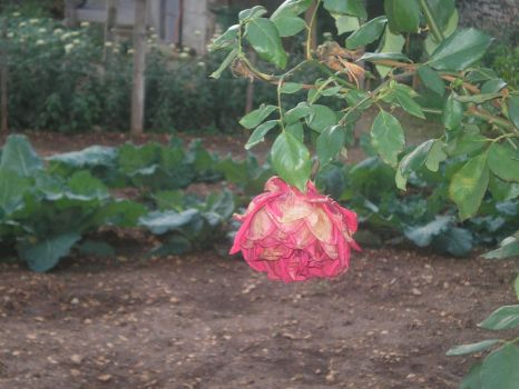 A rose... by icieprincess