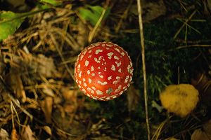 Amanita) by Teyvilin