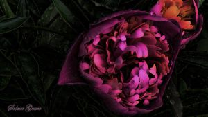 1920x1080 Peony Passion by Solace-Grace