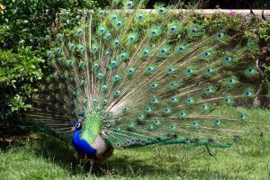 Peafowl 01 by LutherHarkon