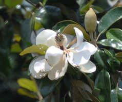 Magnolia Blooming after rain by Tailgun2009