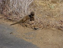 Mongoose by Windstern