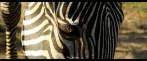 Zebra by lazureblood