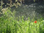Poppies on the Saar by combray