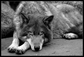Sleeping among wolves... by Wereldreizigster