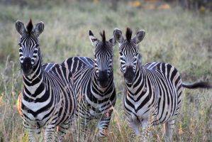Zebras 3 by Llucas84
