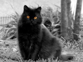 black cat by robesauer