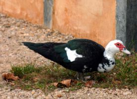 Muscovy Duck by NycterisA