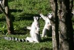 Ring tailed lemur animal stock by CathleenTarawhiti