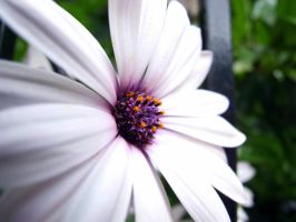 African daisy01 by Pepkosh